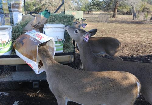 deer hunting season ends starts all over deer management at buck