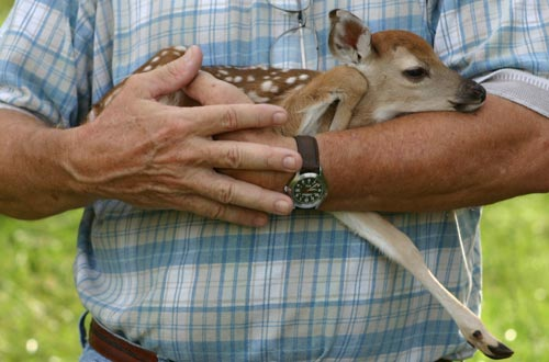 Newborn White Tailed Deer
