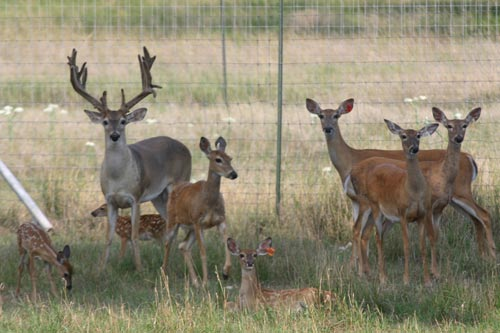 Whitetail Deer Farms on
